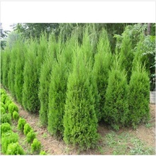 Hot Selling  Cypress Trees Seeds Conifer Bonsai Seeds DIY Home Garden  20pcs/bag