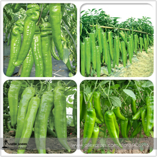Heirloom Light Green Long 'Sheep Horn' Sweet Pepper Vegetable F1 Seeds 20+ E3465(China)