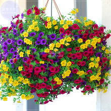 BELLFARM Hanging Petunia Mixed Seeds, Professional Pack, 200 Seeds, Very Beautiful Garden Flowers Light Up Your Garden TS029(China)
