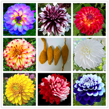 Real dahlia bulbs, dahlia flower, perennial bonsai flower bulbs Fresh Bulbous Root plant pot (not dahlia seeds) - 2 pcs