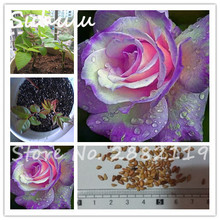 200 pcs rare color purple pink heart roses seed multicolor garden flower world most perennial beautiful flower garden decoration(China)