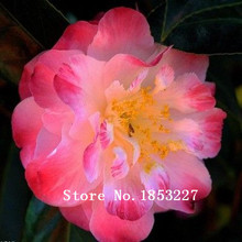 50 seeds, French Camellia seeds Flowers seeds ,low maintance, add bright color to your garden ,one original package