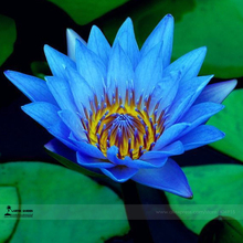 1 Professional Pack, 1 seed / pack, Dark Blue Nymphaea Caerulea China Water Lily Pad Flower Pond Seeds #E3490