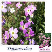 Buy 2 Get 1!(Can accumulate ) 1 Pack 50 SEED Chinese Herb Virginia Stock Malcolmia Maritima D026(China)