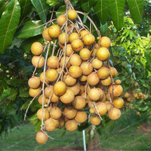 Dimocarpus Longan Seeds Hot Sale Organic Fruit Bonsai Exotic Dragon Eye Fruit Tree Seeds DIY Home Garden Plants 5 Particles(China)