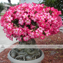 1 Professional Pack, 2 seeds / pack, Adenium Obesum Red Desert Rose Flowers Seeds #NF284