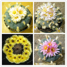 Hot Selling 100 Pcs Mixed Astrophytum Cactus Seeds Succulents Plants Bonsai Seeds DIY Home Garden Potted Plant Flower