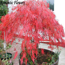 """Crimson Queen"" Japanese Maple Seed ,Free Shipping 20 Particles / Bag(China)"