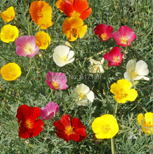 Garden Plant 200 Seeds,California Poppy,Eschscholzia Californica King mix,flower Seeds Free Shipping
