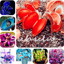 Cheap 100 Pcs Potted Red Insectivorous Plant Seeds Dionaea Muscipula Rare Venus Flytrap Bonsai Seeds For Home Garden Decortion