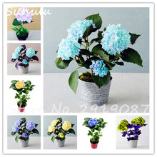 50 pcs hydrangea seed rare China hydrangea bonsai mixed hydrangea perennial beautiful flower natural growth beauty your garden