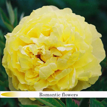 "Rare Earth New ""Yellow Courtesan"" Golden Peony Flower Seeds , 10 Seeds / Bag , Strong Fragrant"