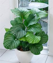 50 Pieces / Bag Rare Calathea Seeds Air Freshening plants Ice Cream Flowers Office Desk Bonsai for Flower Pot Planters