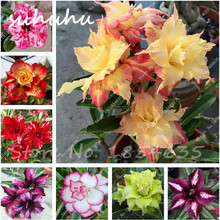 Unique Yellow Desert Rose Seeds Ornamental Plants Flowers Seeds Balcony Potted Adenium Obesum Seeds 1 Pcs Free Shipping