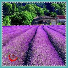 NON GMO 400 Lavender Flower Seeds High Quality attractive impressive Stunning Blooms Balcony&Yard