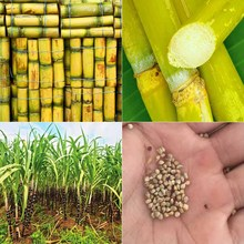 100pcs Vegetable and fruits seeds Sugar cane seeds Are rich in sugar sugarcane seed Bonsai plants Seeds for home & garden