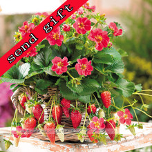 100pcs/milk strawberry seeds Rare Indoor organic fruits seeds in Bonsai.100%true Potted strawberries seeds for home Garden plant