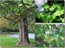 New Home Garden Plant 2 Seeds Ginkgo biloba, Maidenhair Tree, Seeds (Fall Colors) Seeds Free Shipping