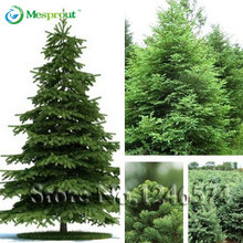 50 seeds /bag Home Garden Plant Spruce seed Chinese Tree Bonsai Seeds, green tree seeds DIY home garden(China)