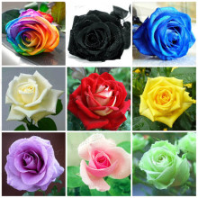 1800 Seeds Rose Seeds Include Pink Black White Red Purple Green Yellow Blue Colors(China)