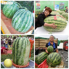 Big Watermelon Seeds Water Melon Seeds Fresh * Cool Summer Fruit Lovely Rounded Edges Green Red Meat Healthy Food 30 Pcs(China)