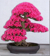 japanese flower seeds 20pcs/lot wholesale sakura seeds bonsai flower pink Cherry Blossoms free shipping