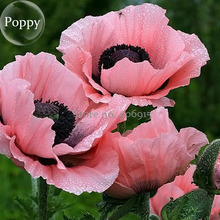 Rare Beautiful Perennial Pink Poppy Flowers with black eyes, 100 Seeds, new style attractive butterfly E3671