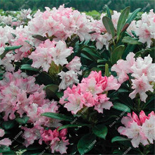 100 pcs a bag rhododendron azalea flower seeds,raro diy plant home garden bonsai ,japan   cherry sakura flowerpots