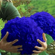 Flower seeds, Hydrangea A variety of colors seed garden plants bonsai Fort Viburnum 30 pcs r85(China)