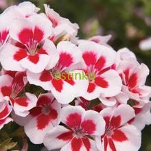 10pcs Rare Geranium Seeds Swizzle Stick Pelargonium Perennial Flower Seeds Hardy Plant Bonsai Potted Plant Free Shipping(China)