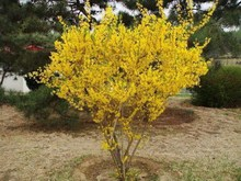 Free Shipping 20 Seeds/pack Weeping Forsythia Seeds garden pots & planters
