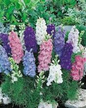 DWARF DELPHINIUM AJACIS LARKSPUR FLOWER SEEDS MIX / EARLY BLOOMING ANNUAL  30pcs+  Q014