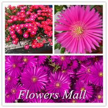 Lampranthus roseus seeds 200PCS Flower seed Rose red Flowers Garden Home Plants Bonsai DIY Easy to plant Popular Product