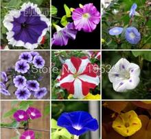 Vines Twining vines, morning glory seeds mix garden planting Daffodil 10 seeds