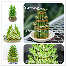 30 pcs DIY a Bamboo House Rare Lucky Bamboo Seeds Dracaena Seeds Potted Absorb Dust Tree Seeds Anti Radiation fresh the air