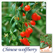Buy 2 Get 1!(Can accumulate ) 1 Pack 50 Seeds The Best Of Chinese Rare Herb Wolfberry Medlar Seeds E006(China)