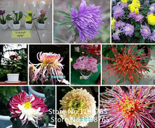 2016 Hot Chrysanthemum seeds perennial flowering rose pink marigold seeds long full of real daisy seeds 100 particles / bag flow