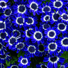 Free Shipping 50 Blue Daisy ,English Species ,Easiest Growing Flower, Hardy Plants Flower Seeds Exotic Ornamental Flowers(China)