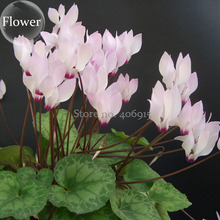 Rare Cyclamen Persicum Wild Species Pale Pink White Magenta Nose Flower, 5 Seeds, good-looking to attract butterflies E3889(China)