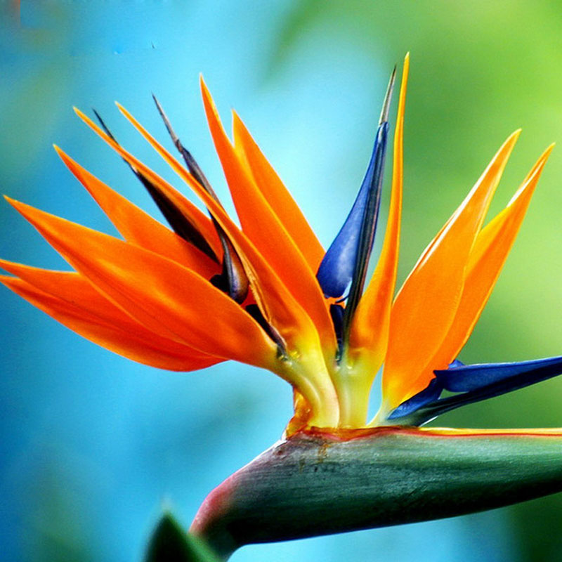 Potted birds of paradise plant