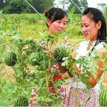 Vonnie Ling small watermelon seed 10 seeds small family organic vegetable garden seeds