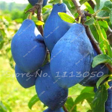 Wholesale Cheap Golden Pear Seeds Quality Pear Fruit Plant Potted Adequate Stock Of North And South Bonsai Tree 10 Seeds/Pack(China)