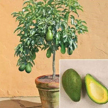 Avocado Seeds Green Fruit Very Delicious Persea Americana Mill Pear Seed Easy To Grow Fruit Seeds For Home Garden Plant 10 Pcs