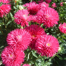 HUA XIAN ZI 50 Seeds / Bag China Aster Chrysanthemum Flower Seeds Bonsai Red Dwarf Flower Seed