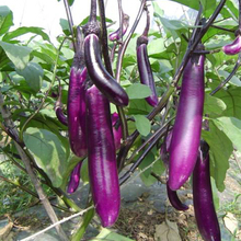 500seeds Purple long eggplant seeds Balcony Garden fruit Vegetables Seeds Four seasons planting(China)