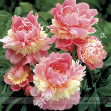 Pink Peony Tree Seeds, 5 Seeds / Pack, Bonsai Tree Perennial Flower Seeds, New Variety Light up Your Garden