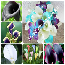 200 colorful calla lily seed, Mixed Colors, rare plants flower Seeds, Home gardening Potted Balcony Plant, Radiation Absorption