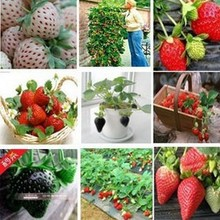 500pcs 50kinds mixed Super Big red fruit Climbing strawberry seeds Black Red blue yellow seeds of a strawberry(China)