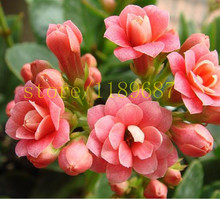 100pcs  Bonsai Red Longevity Flower Seeds Kalanchoe Novel Plants for DIY Home Garden EASY grow on desk for wife gift