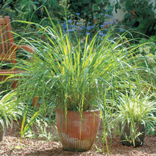 400 EAST INDIA C. flexuosus Lemon Grass Seeds~Refreshing and pleasant
